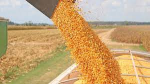 CBN releases 50,000MT of maize to 12 feed millers to tackle scarcity.